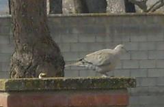Una paloma en el recreo